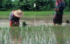淡水小龙虾与一季稻种养生态模式