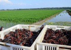稻田小龙虾养殖的8大技术细节
