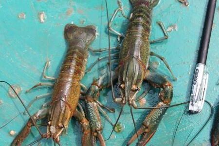 澳洲小龙虾