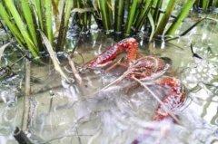 小龙虾养殖技巧