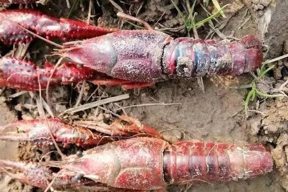 稻田养龙虾的血泪经历分享