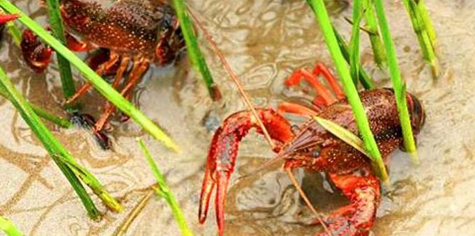 2019年小龙虾一亩地纯利有多少钱呢?