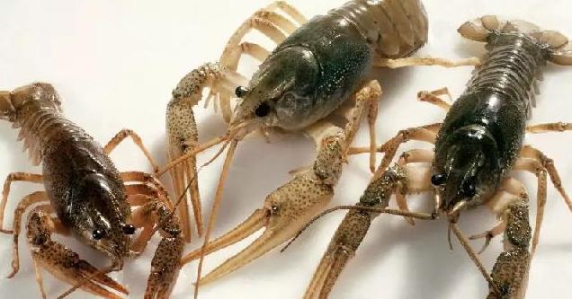 池塘养殖小龙虾的效益如何?