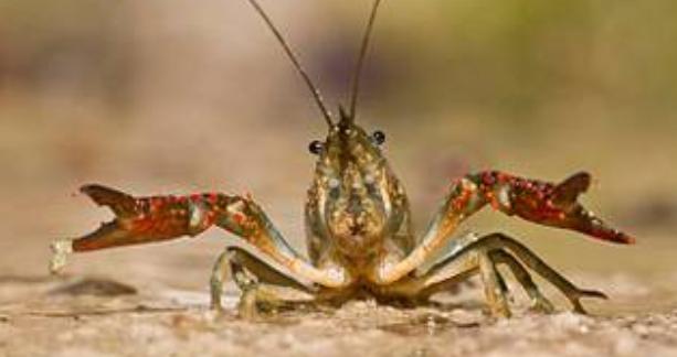 在稻田里养小龙虾因该怎么做?