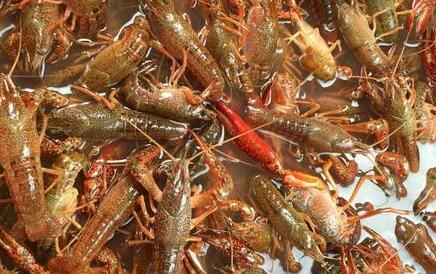 2020年小龙虾价格行情会怎么样?