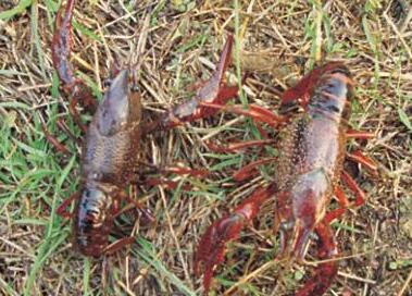三月中旬近3天小龙虾价格跌了1