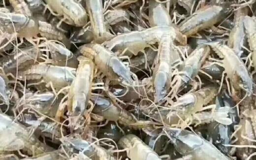 初期小龙虾苗该如何喂食?